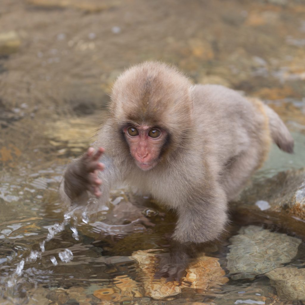 Snow monkey playing at the pool